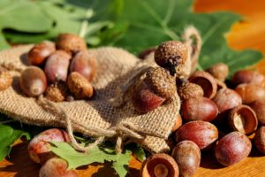 red oak acorns