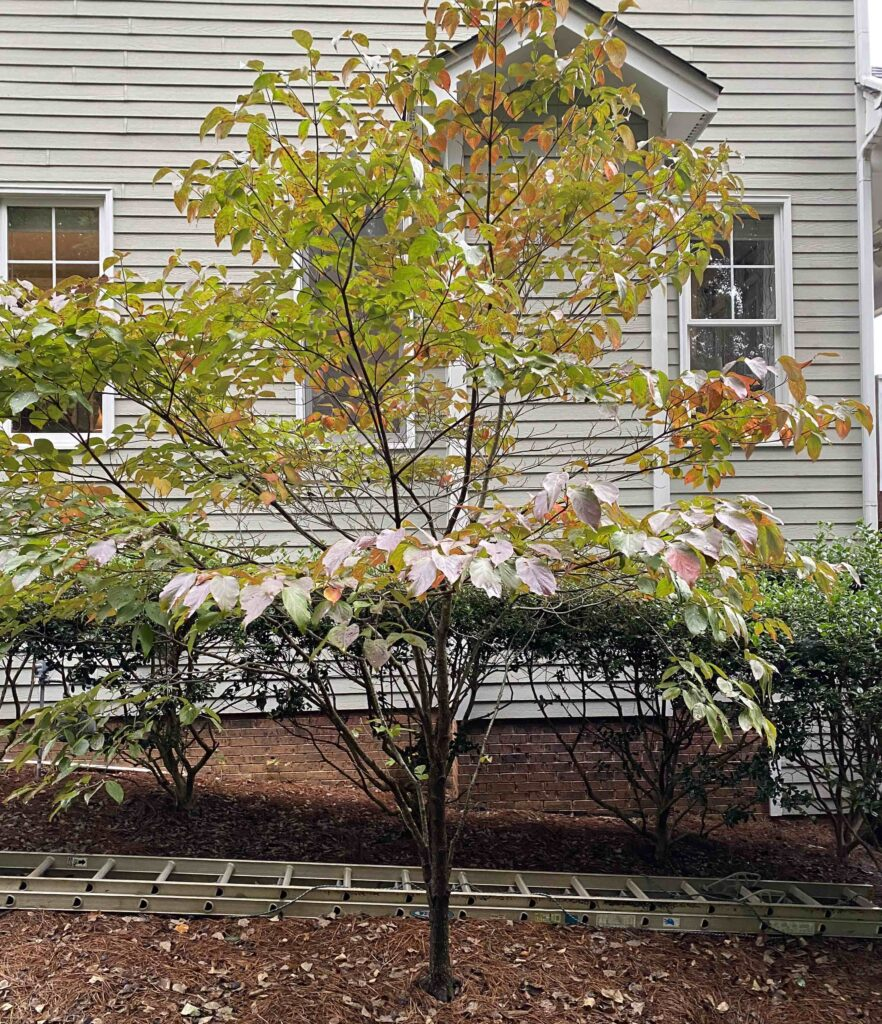 Leaf Critters shows the full Dogwood tree in order to help people find this tree.